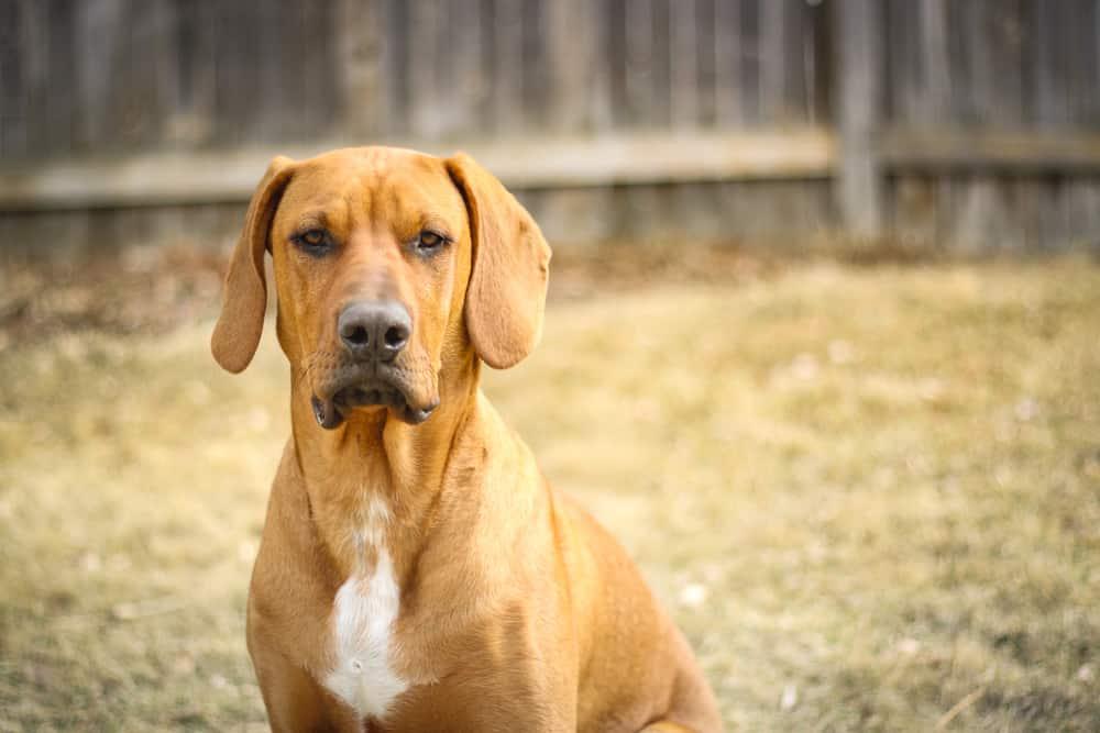 Reddish colored dog posing in yard